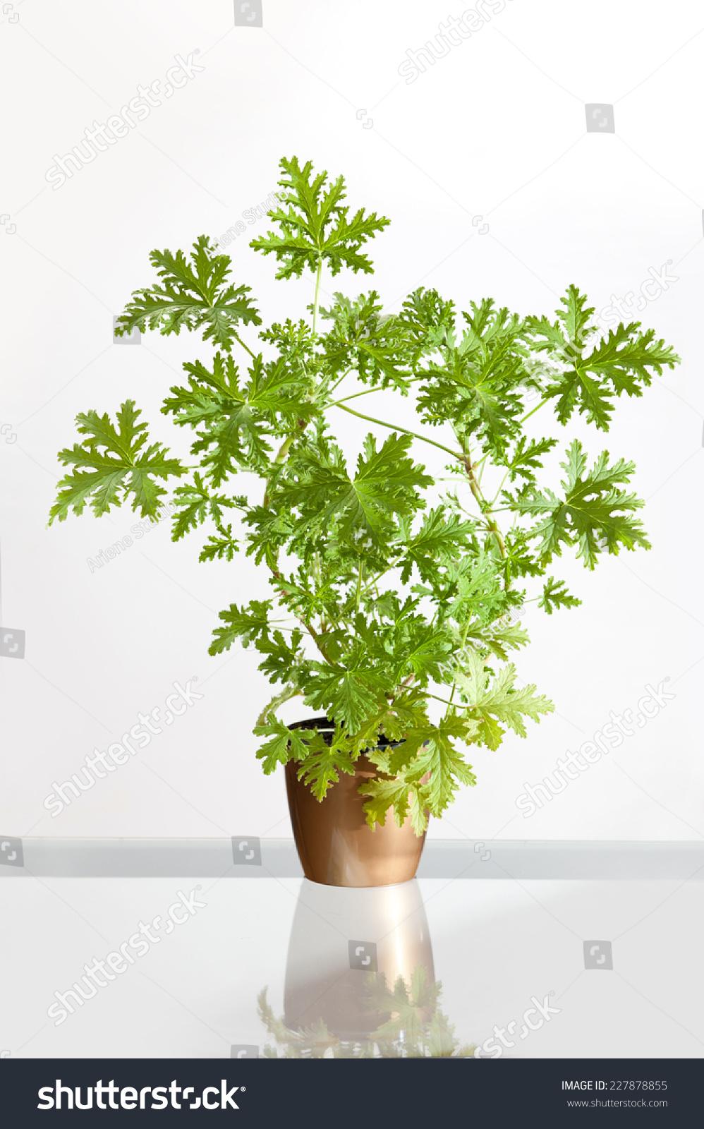 Pelargonium graveolens citrosa