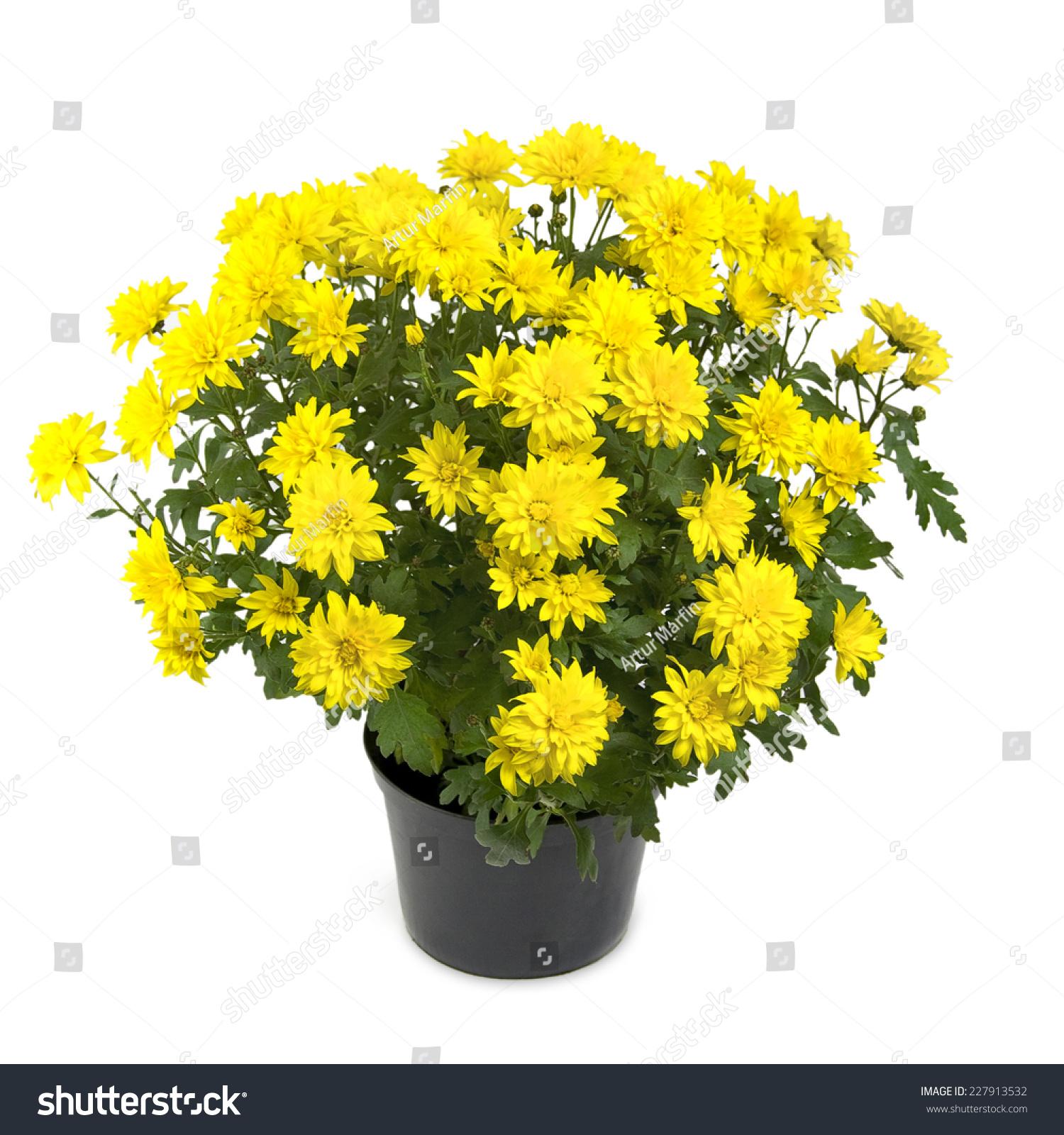 Yellow Chrysanthemum Flower Plant Pot Stock Photo Download Now