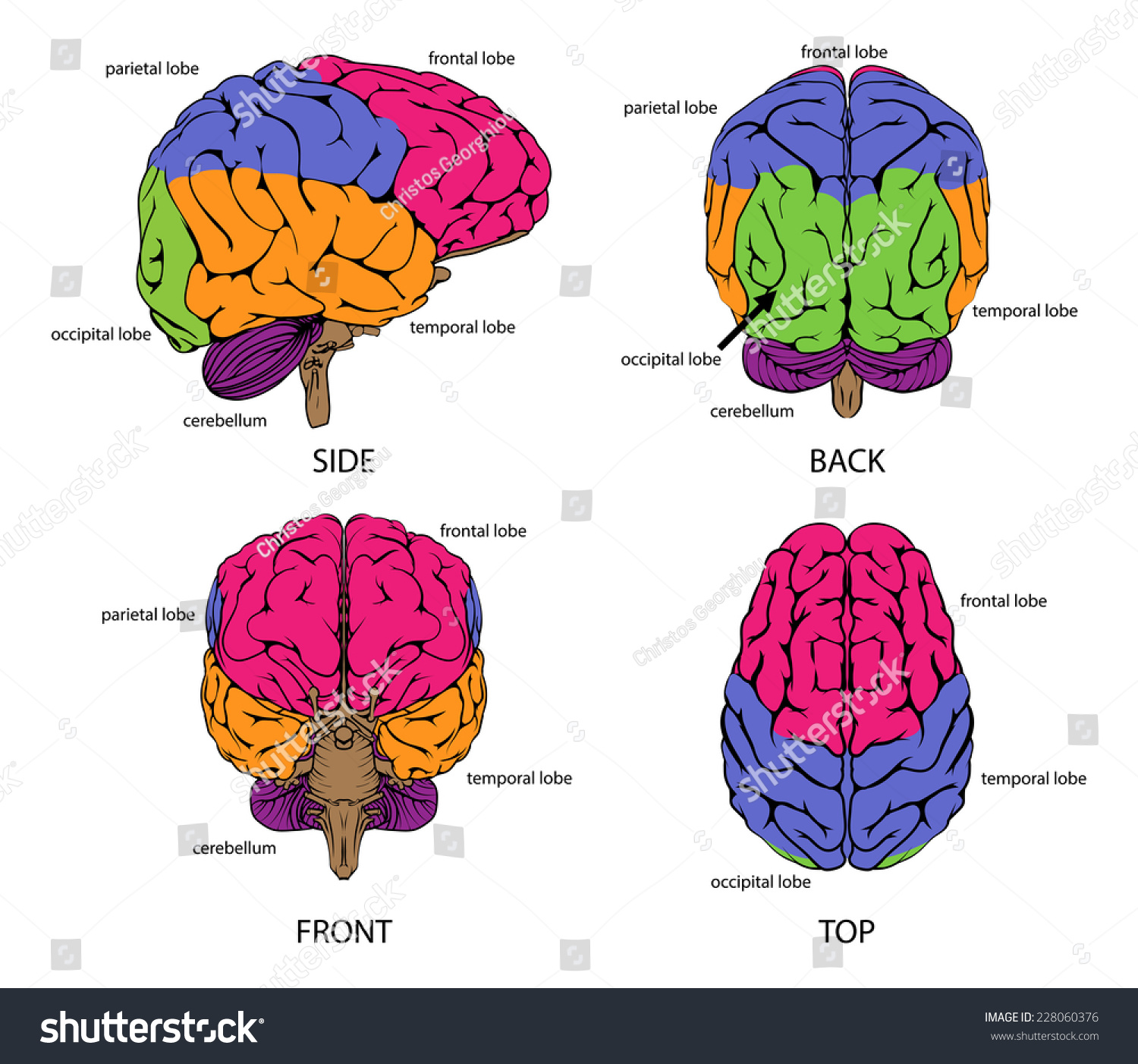 Human Brain All Sides Sections Different Stock Illustration ...