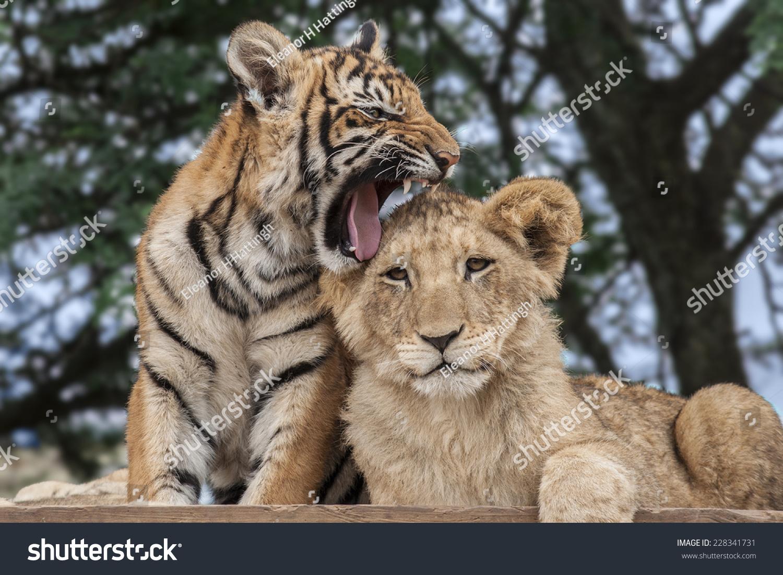 lion cub panthera leo tiger cub stock photo 228341731