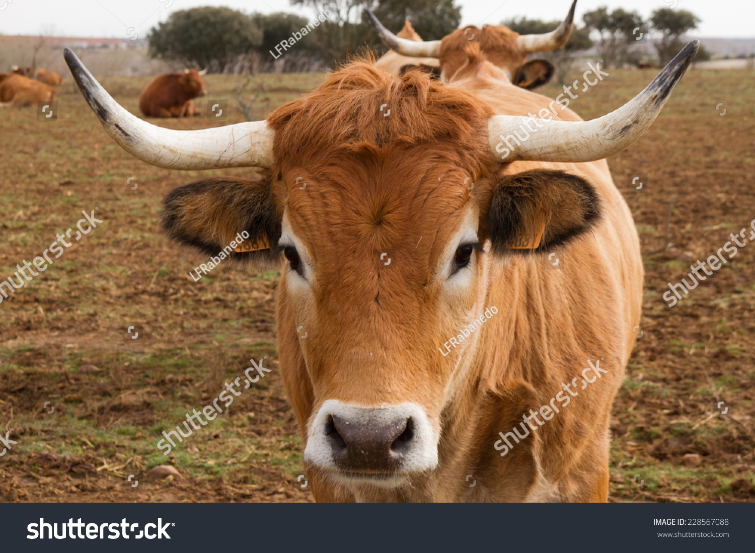 royalty free ox head with horns 228567088 stock photo avopix com