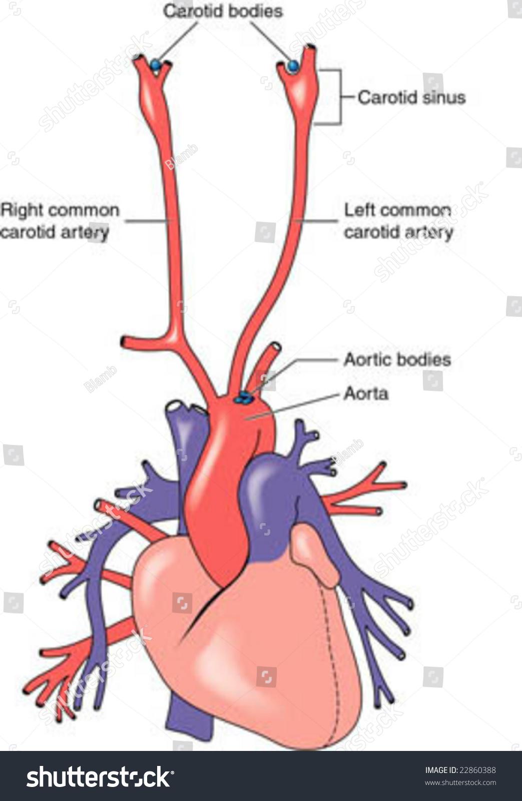 Carotid Aortic Bodies Stock Vector 22860388 - Shutterstock