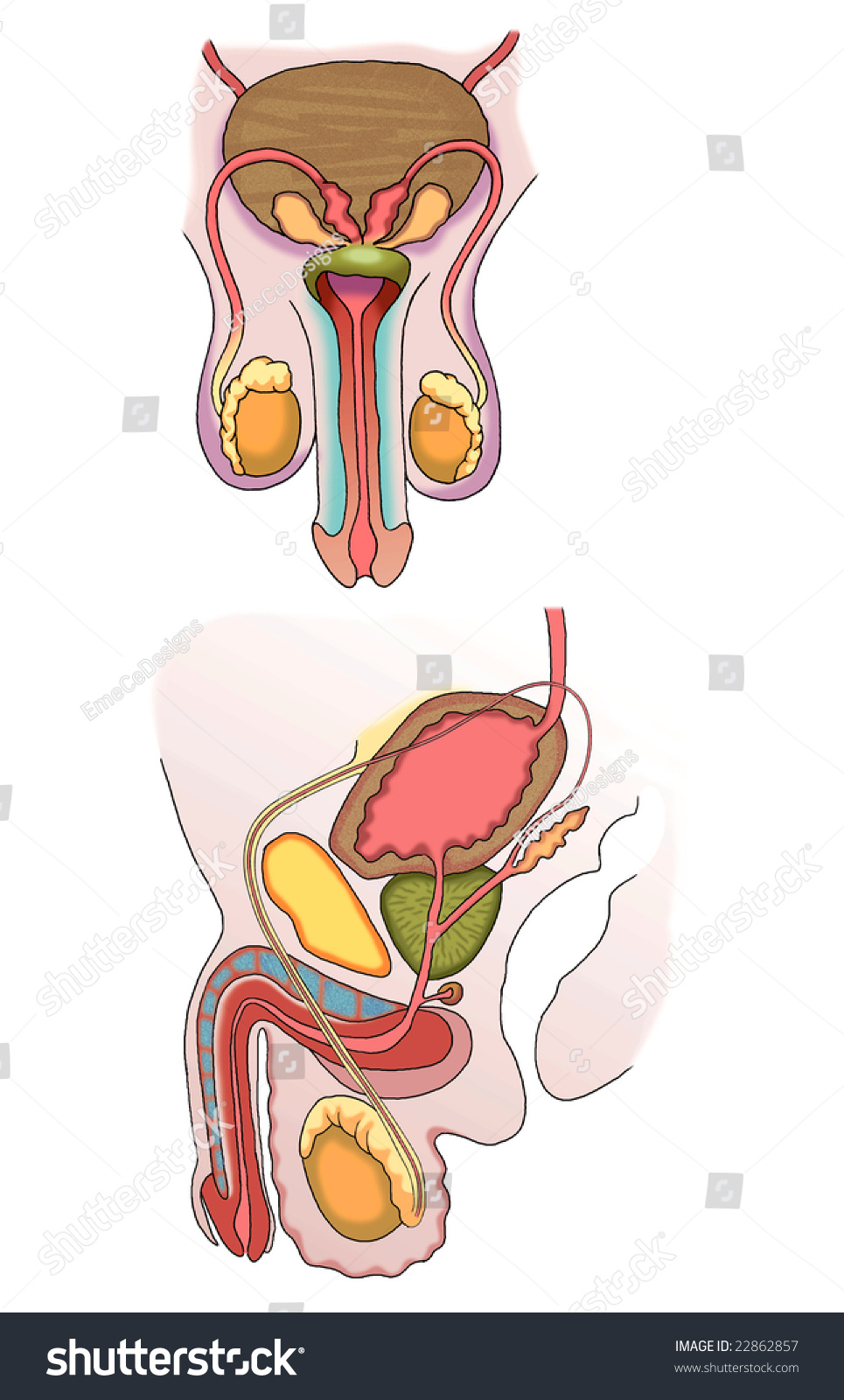 Male Reproductive System Stock Photo 22862857   Shutterstock