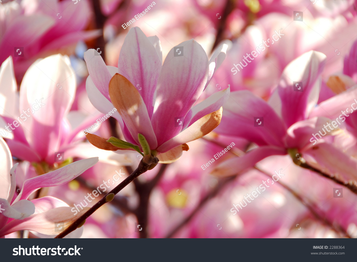 Background blooming magnolia tree big pink stock photo edit now background of blooming magnolia tree with big pink flowers mightylinksfo