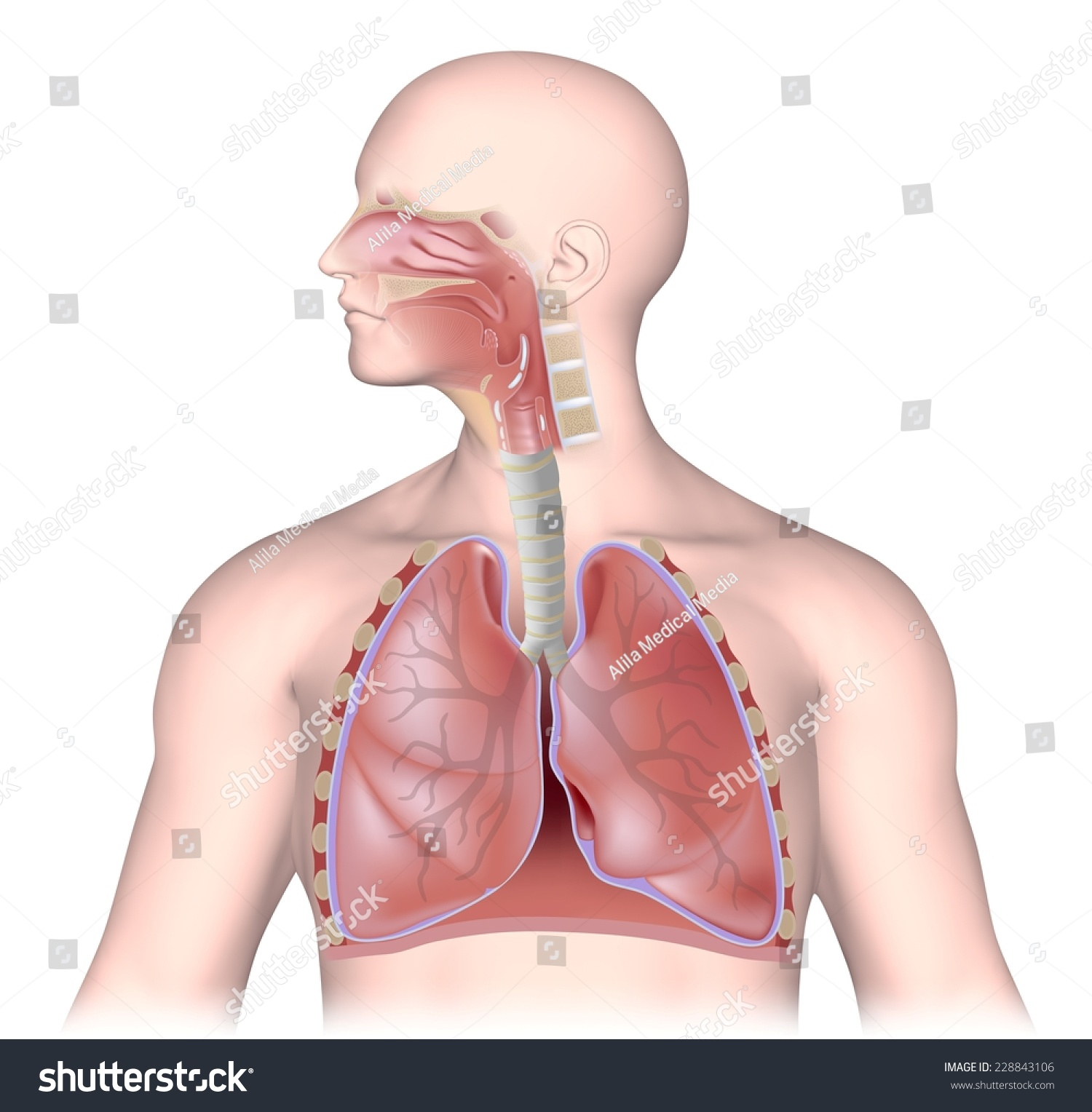 respiratory system unlabeled stock illustration 228843106 - shutterstock