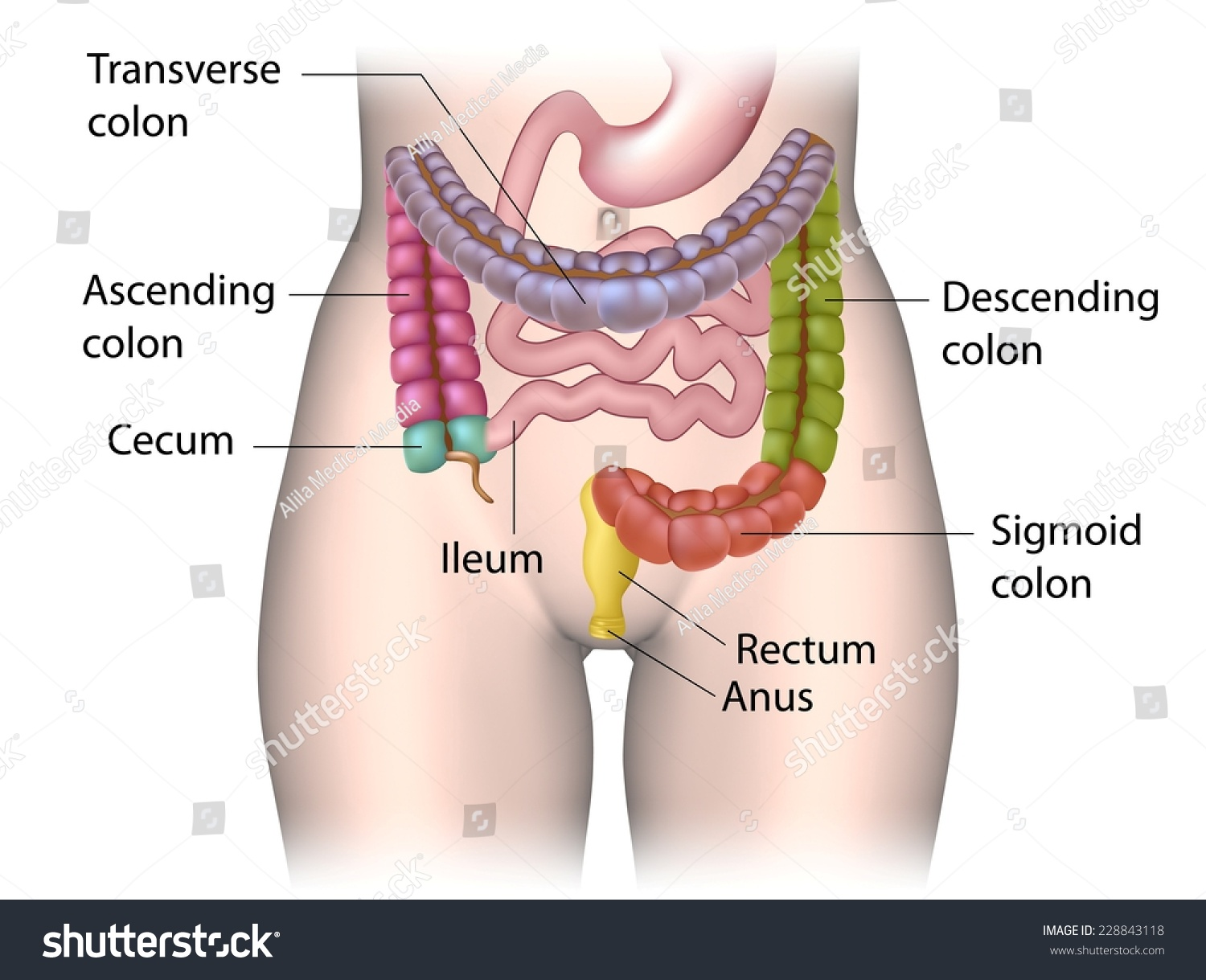 Parts Colon Color Coded Labeled Stock Illustration Royalty Free