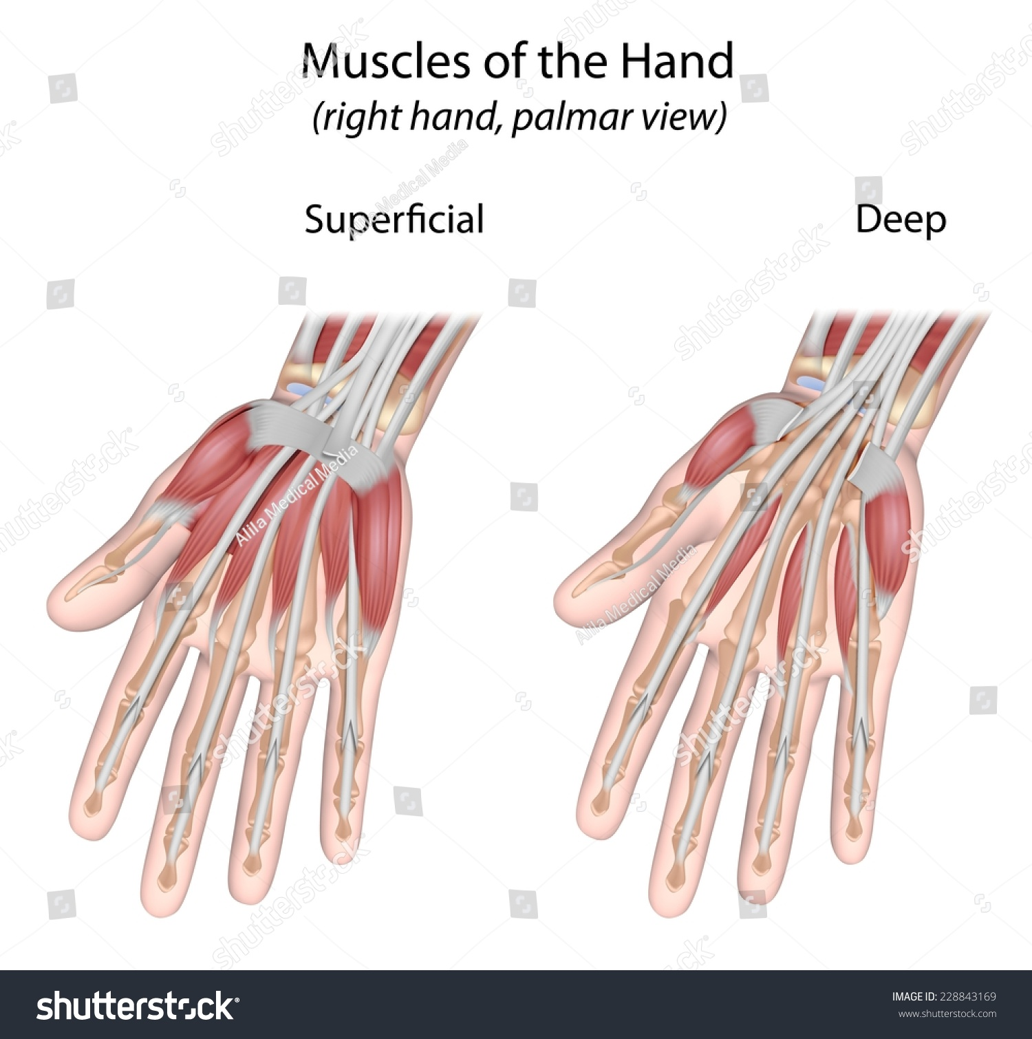 Muscles Hand Palmar View Unlabeled Stock Illustration 228843169 ...