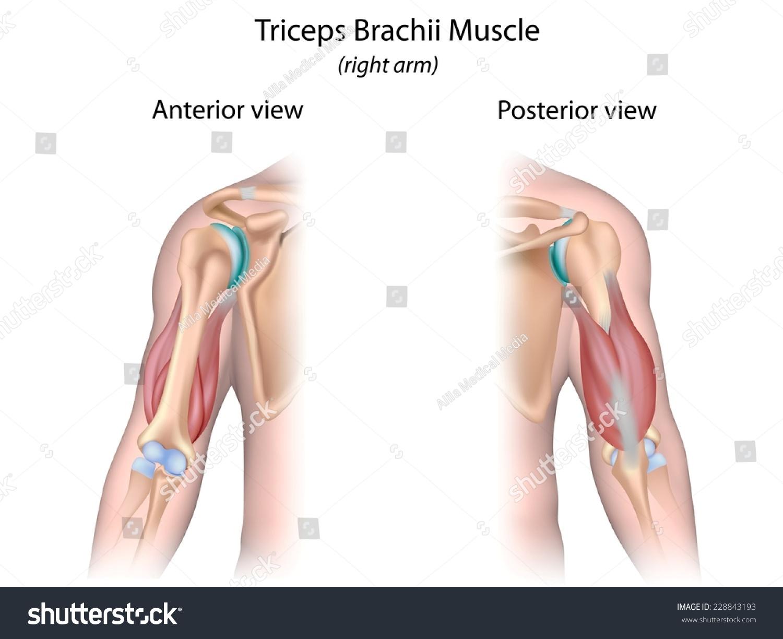 Triceps Brachii Muscle Unlabeled Stockillustration 228843193