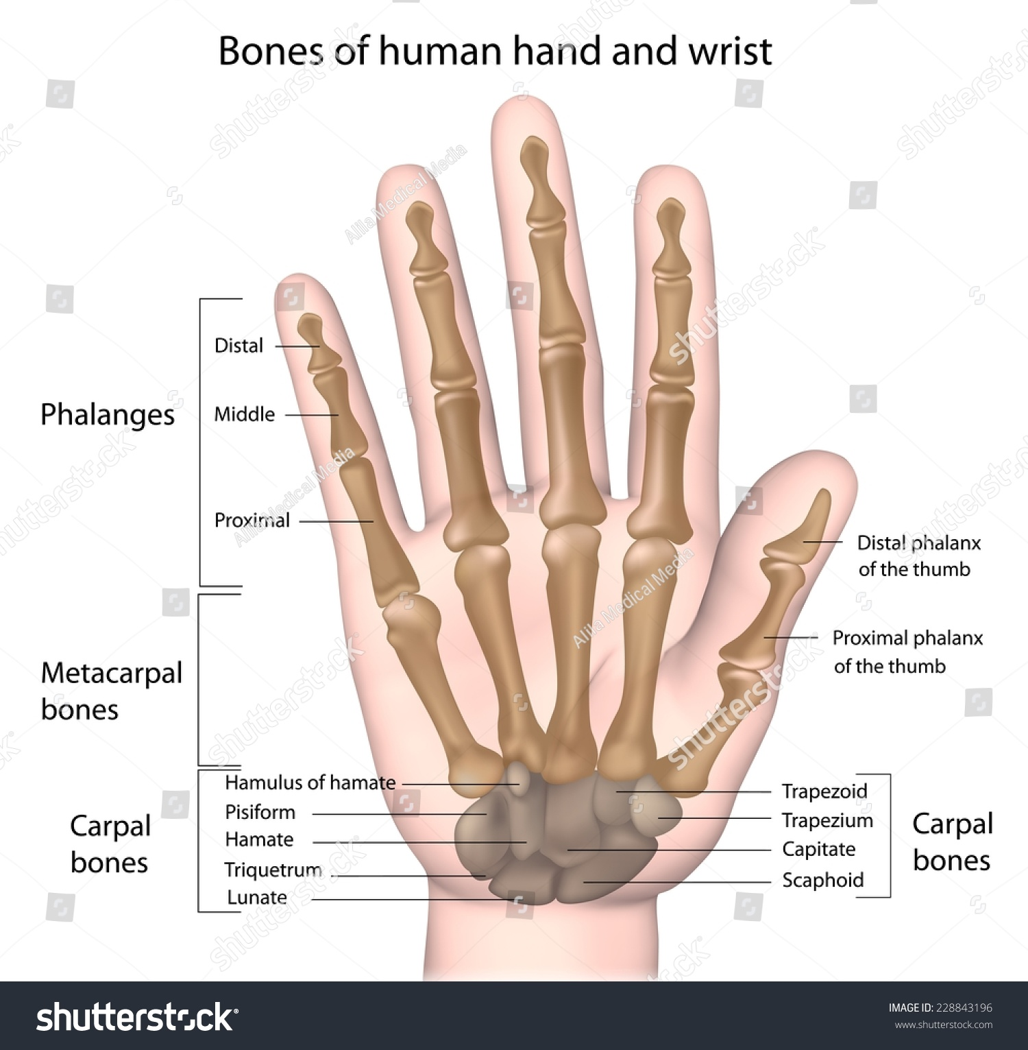 Bones Hand Labeled Stock Illustration 228843196 - Shutterstock