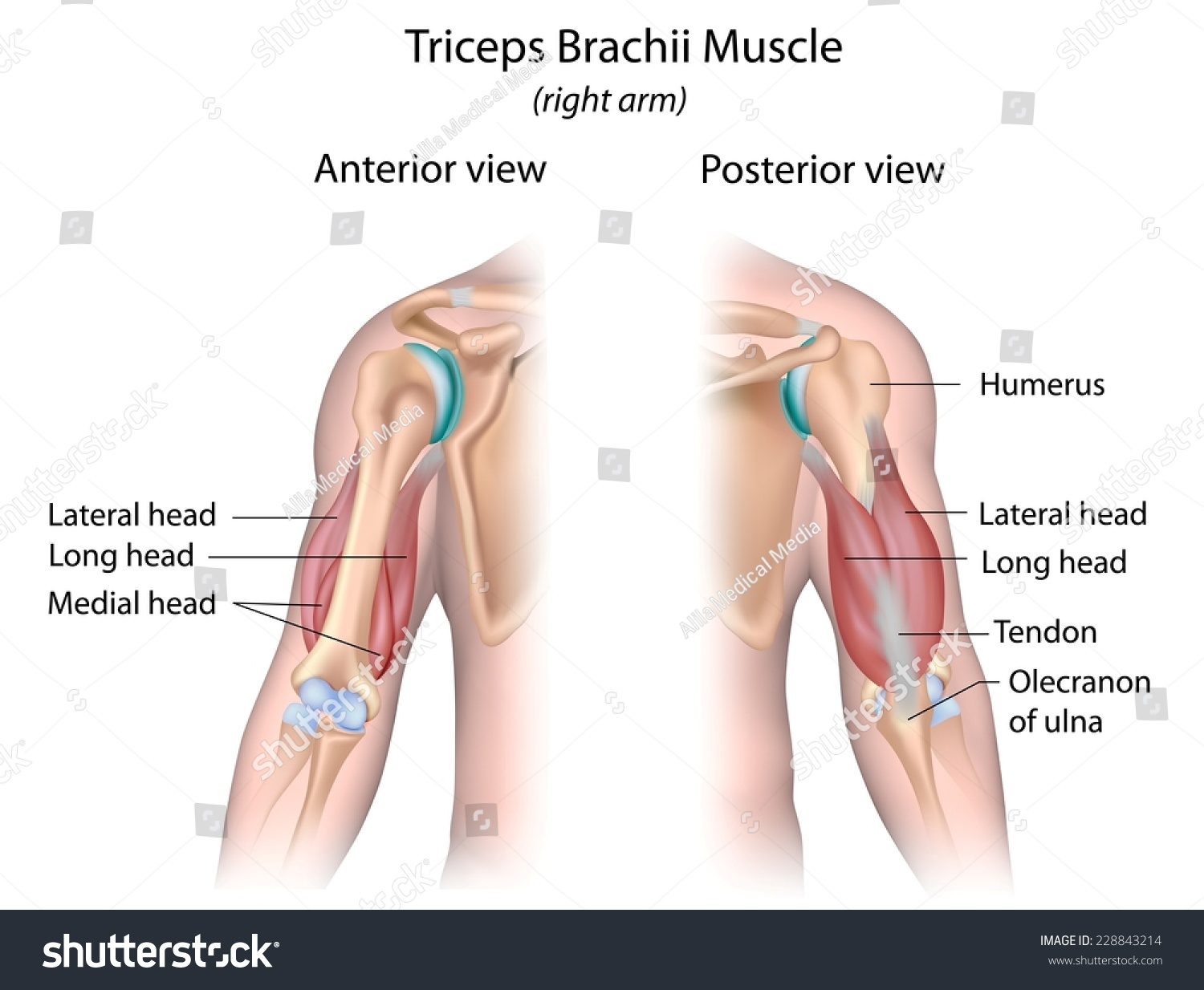 Royalty Free Stock Illustration Of Triceps Brachii Muscle Labeled