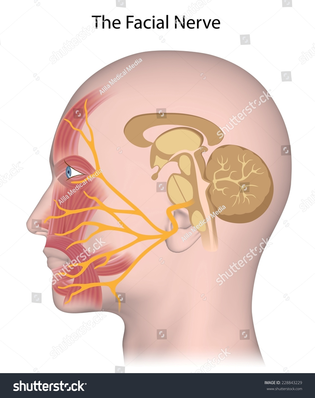 Facial Nerve Anatomy Stock Illustration 228843229 Shutterstock