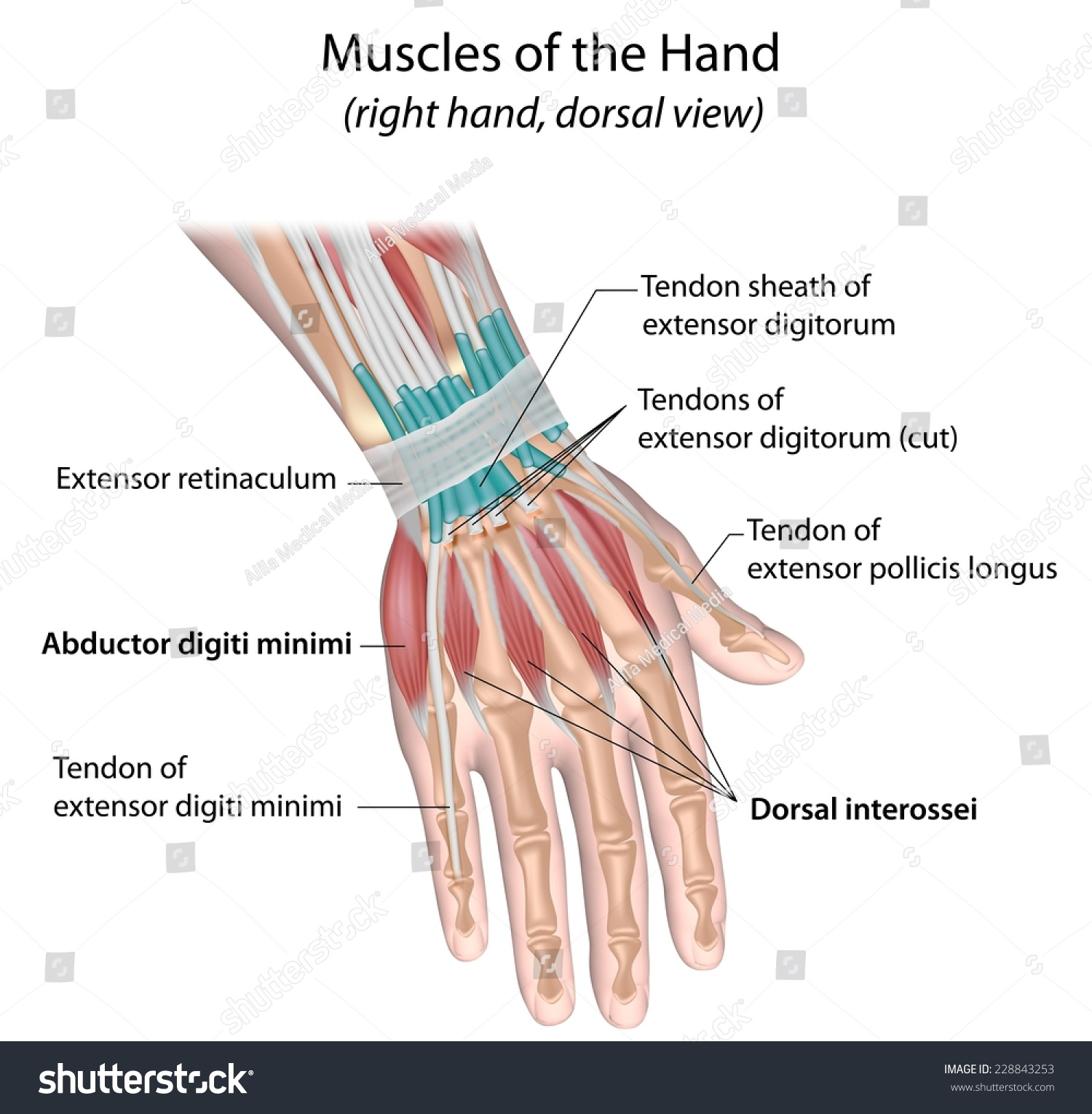 Muscles Hand Dorsal View Labeled Stock Illustration 228843253