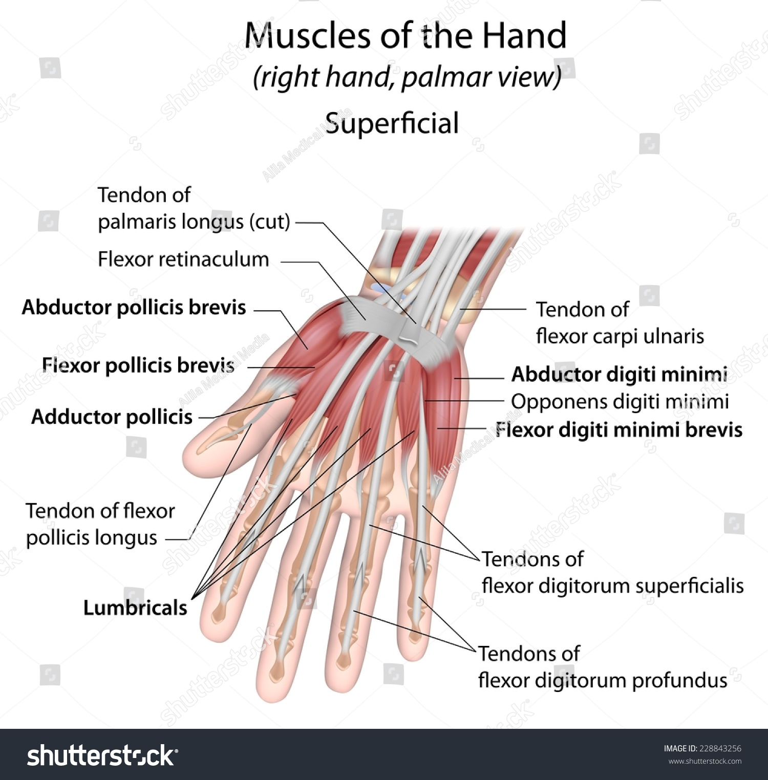 Hand Muscles Palmar Aspect Superficial Labeled Stock Illustration
