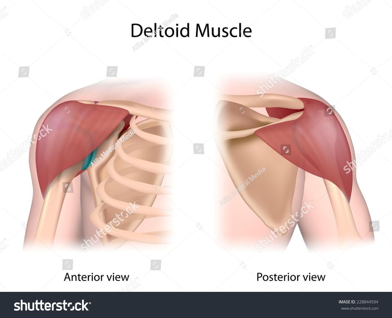 Deltoid Muscle Unlabeled Both Sides View Ilustración de ...