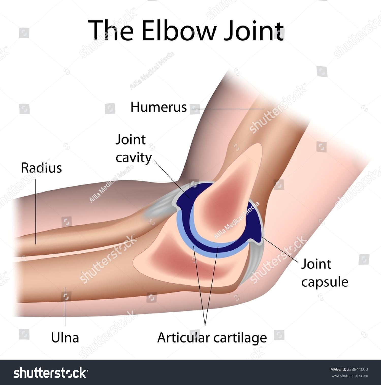 Royalty Free Stock Illustration Of Elbow Joint Anatomy Labeled Stock