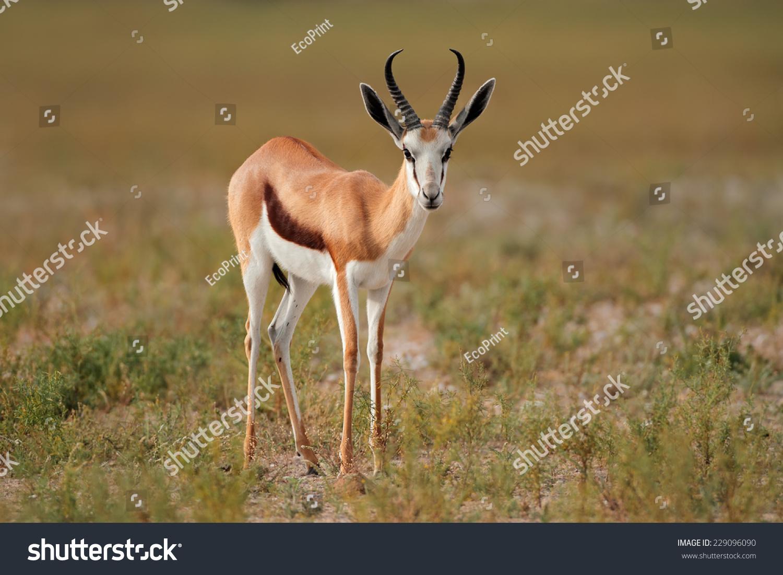 Springbok Antelope (Antidorcas Marsupialis) In Natural ...