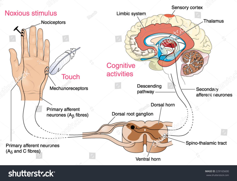 Noxious Pain Receptors Skin Nerve Pathways Stock Vector Royalty