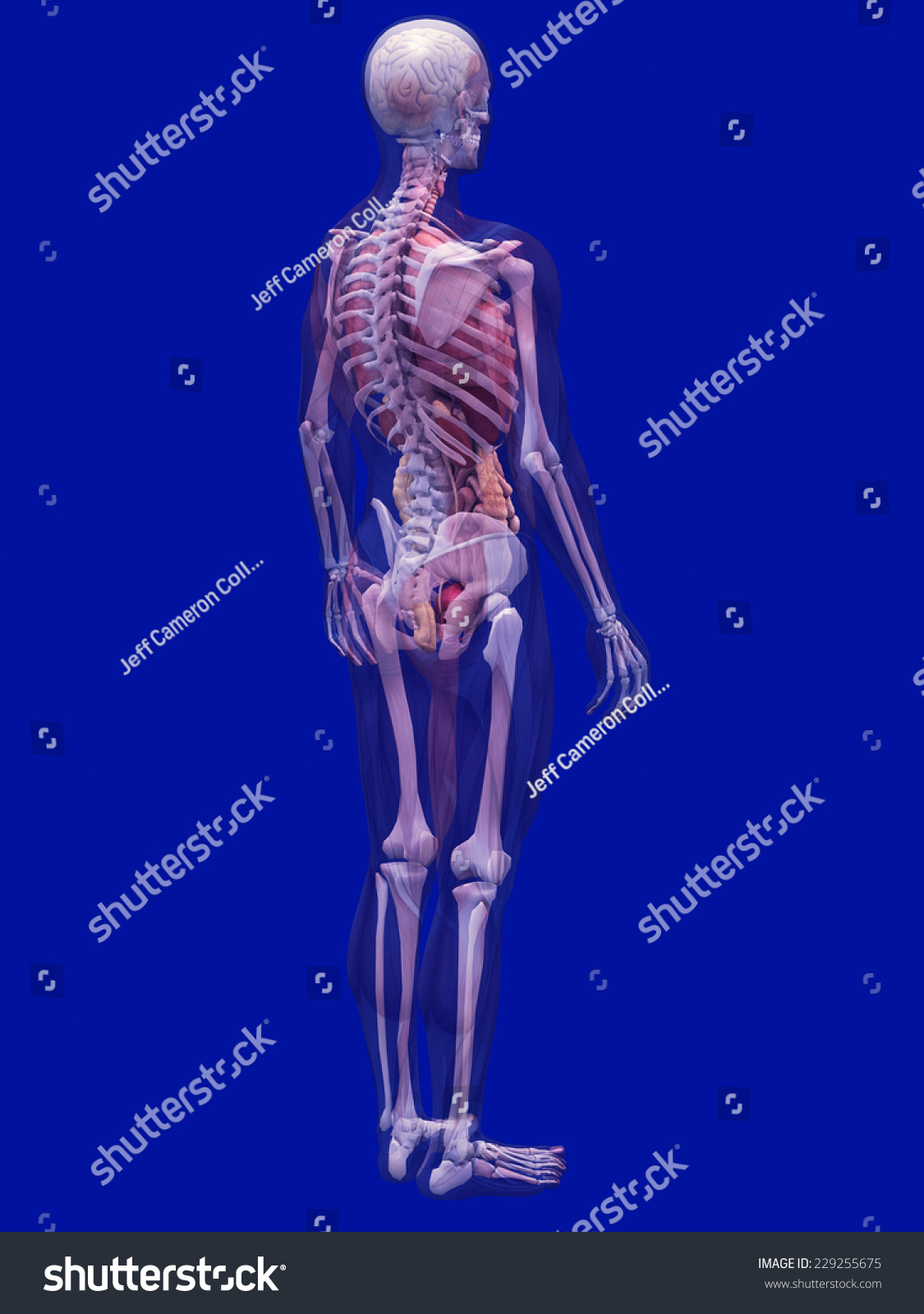 Skeleton X Ray Muscles Internal Organs X Ray Stock Illustration