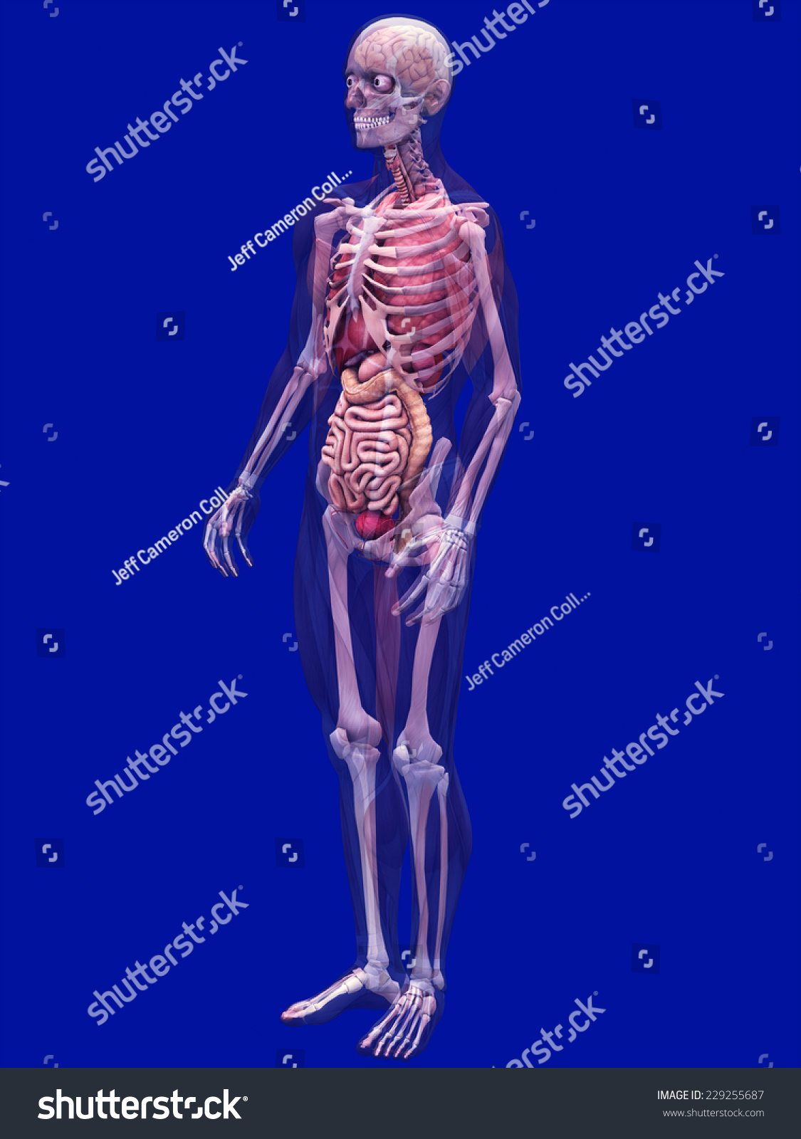 Skeleton X Ray Muscles Internal Organs X Ray Stock Illustration ...