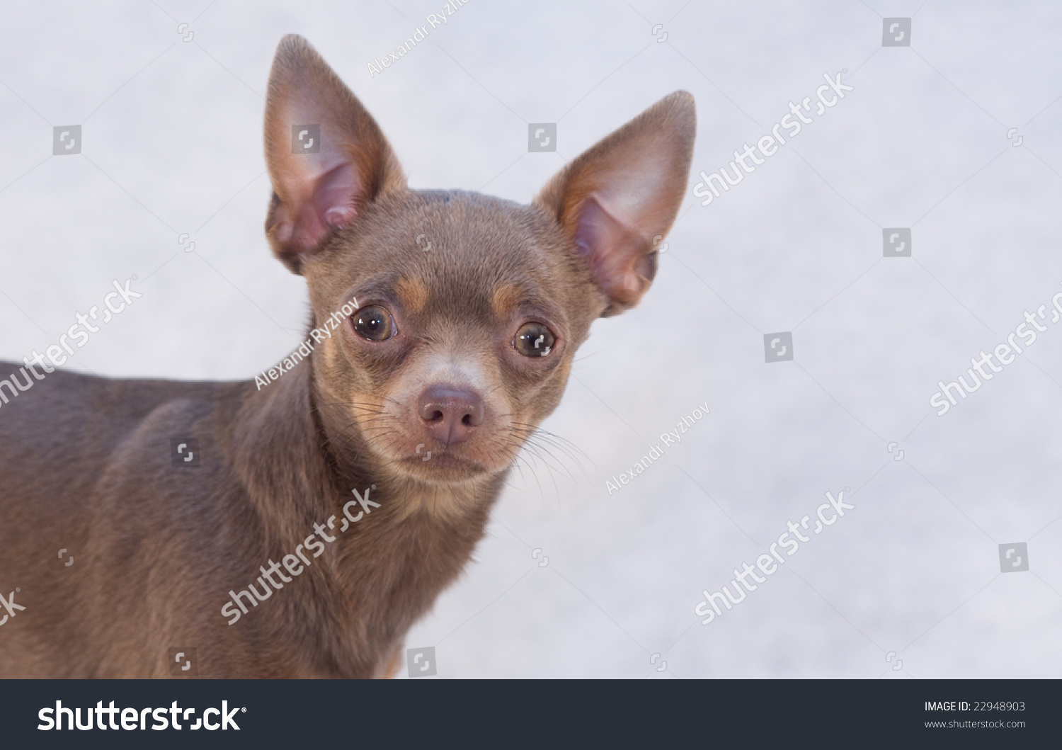 Portrait Russian Toy Dog Blue Stock Shutterstock