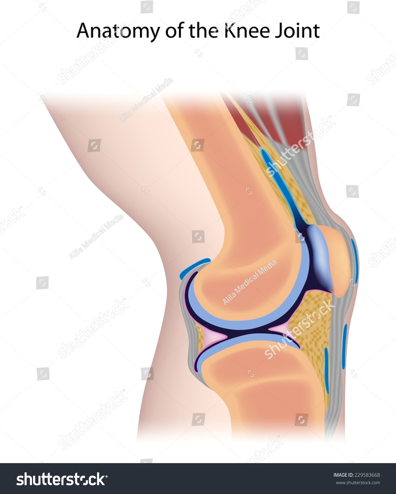 Royalty Free Stock Illustration Of Knee Joint Anatomy Unlabeled
