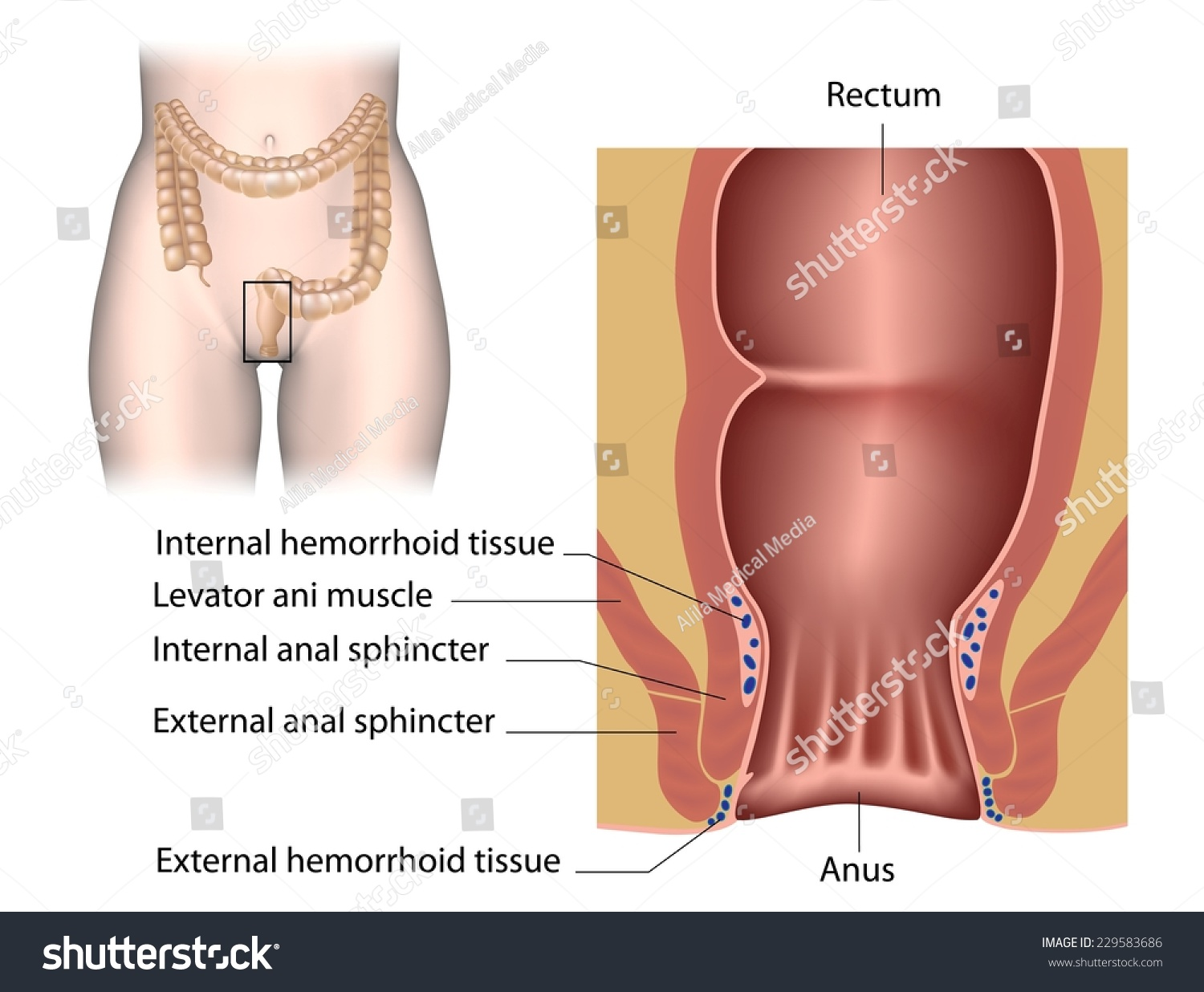 Anal Canal Anatomy Labeled Stock Illustration 229583686 Shutterstock