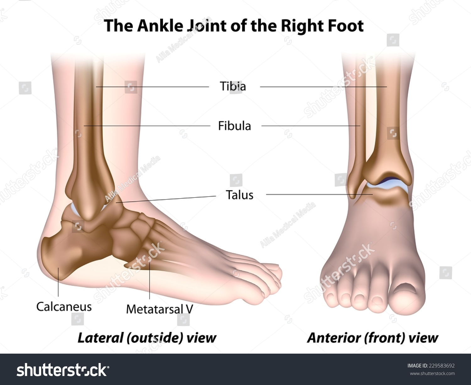 Ankle Joint Anatomy Labeled Stock Illustration 229583692 - Shutterstock