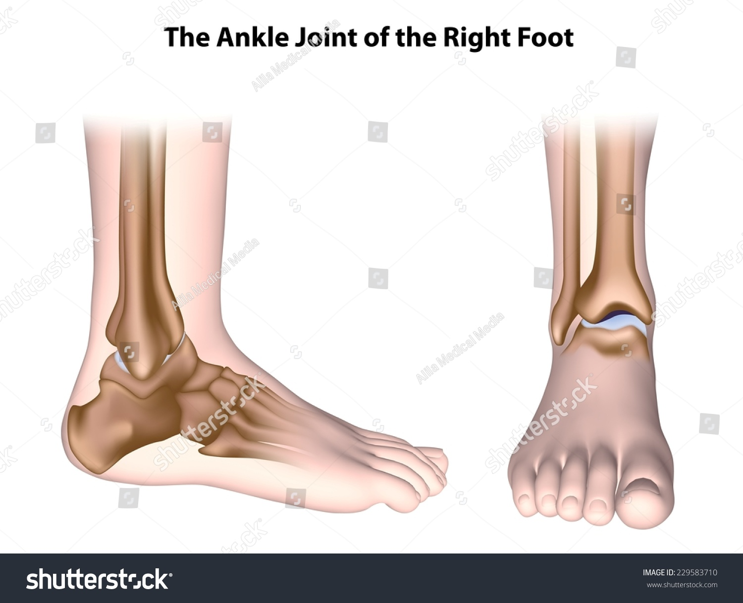 Ankle Joint Anatomy Unlabeled Stock Illustration 229583710 ...