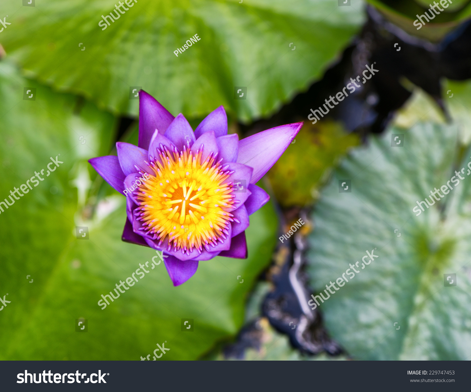 Pretty fresh pink lotus flower growing stock photo safe to use pretty fresh pink lotus flower growing in a calm pond above the floating green lily pads izmirmasajfo