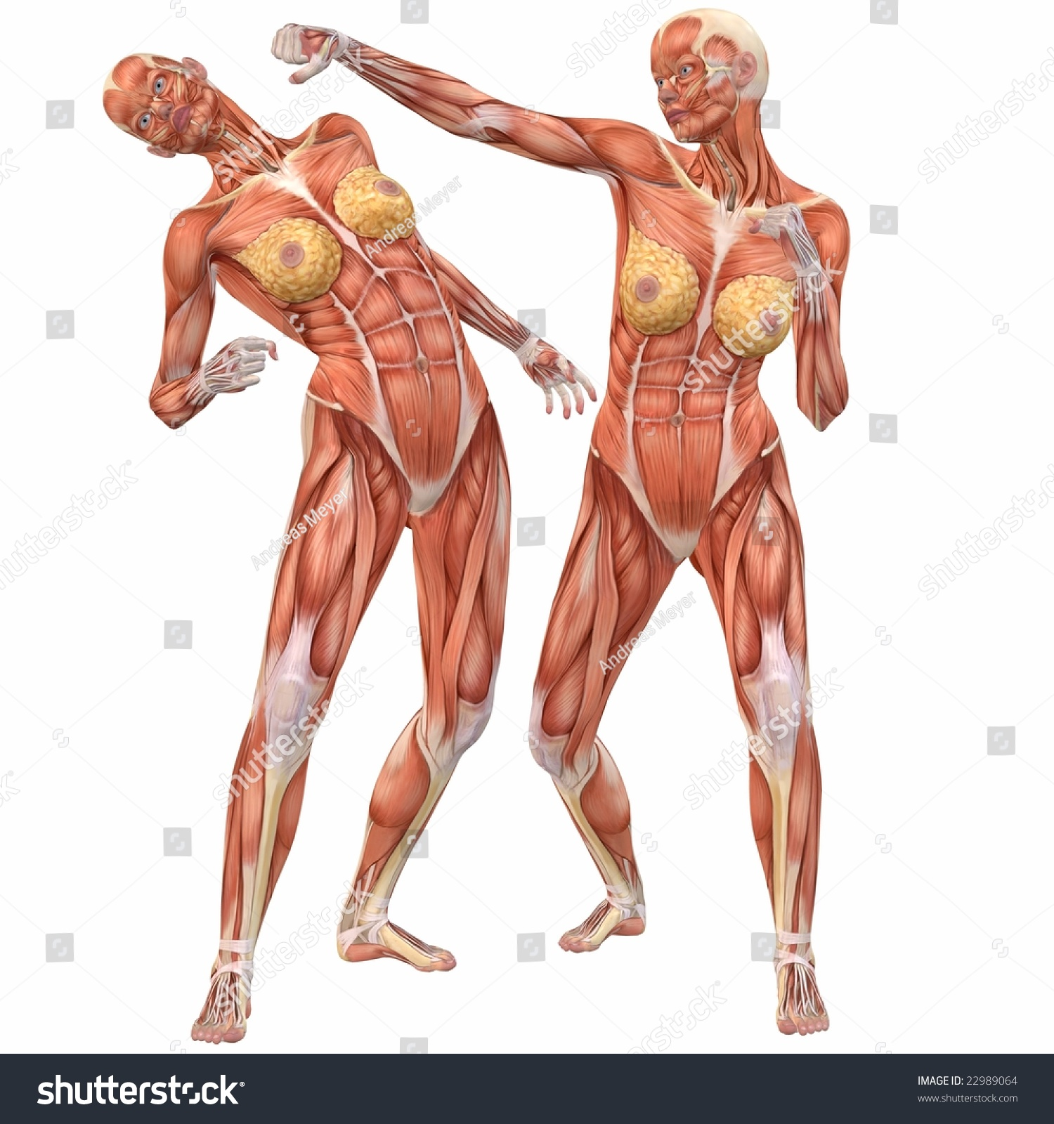 Female Human Body Anatomy Street Fight Stock Illustration 22989064 ...