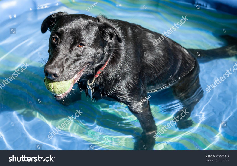 Tired Black Labrador Retriever Dog Green Stock Photo (Edit Now ...