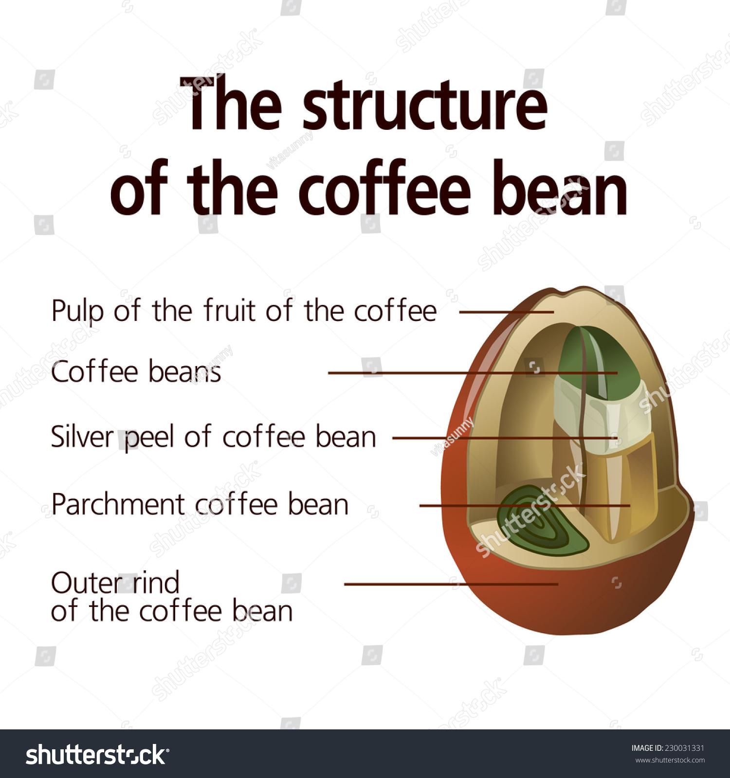 Structure Coffee Bean Vector Stock Vector (Royalty Free) 230031331 ...