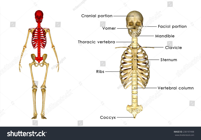 Skull Rib Cage Stock Illustration 230197498 - Shutterstock