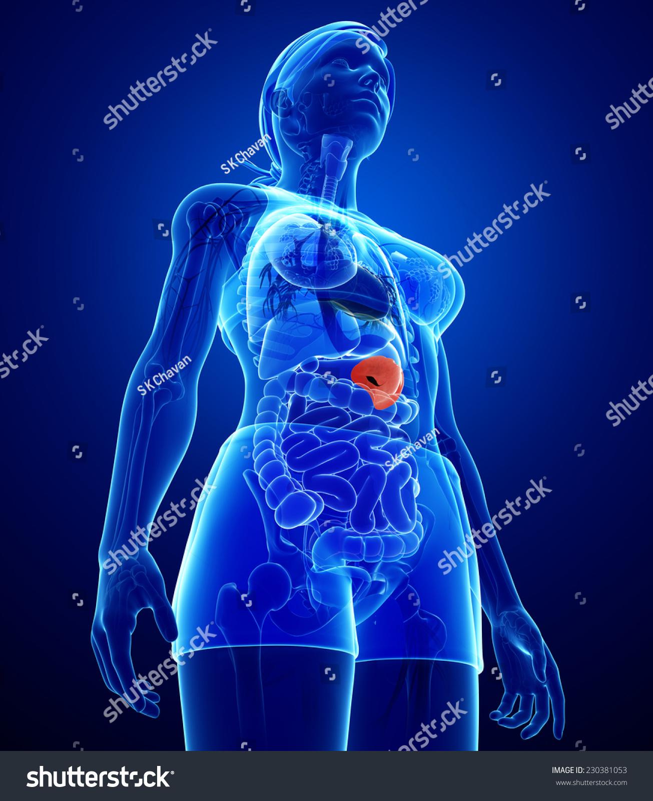 Illustration Of Female Spleen Anatomy Ez Canvas