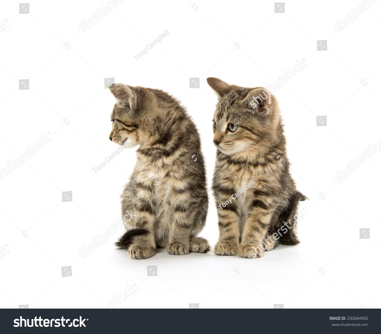 Two Cute Tabby Kittens White Stock Shutterstock