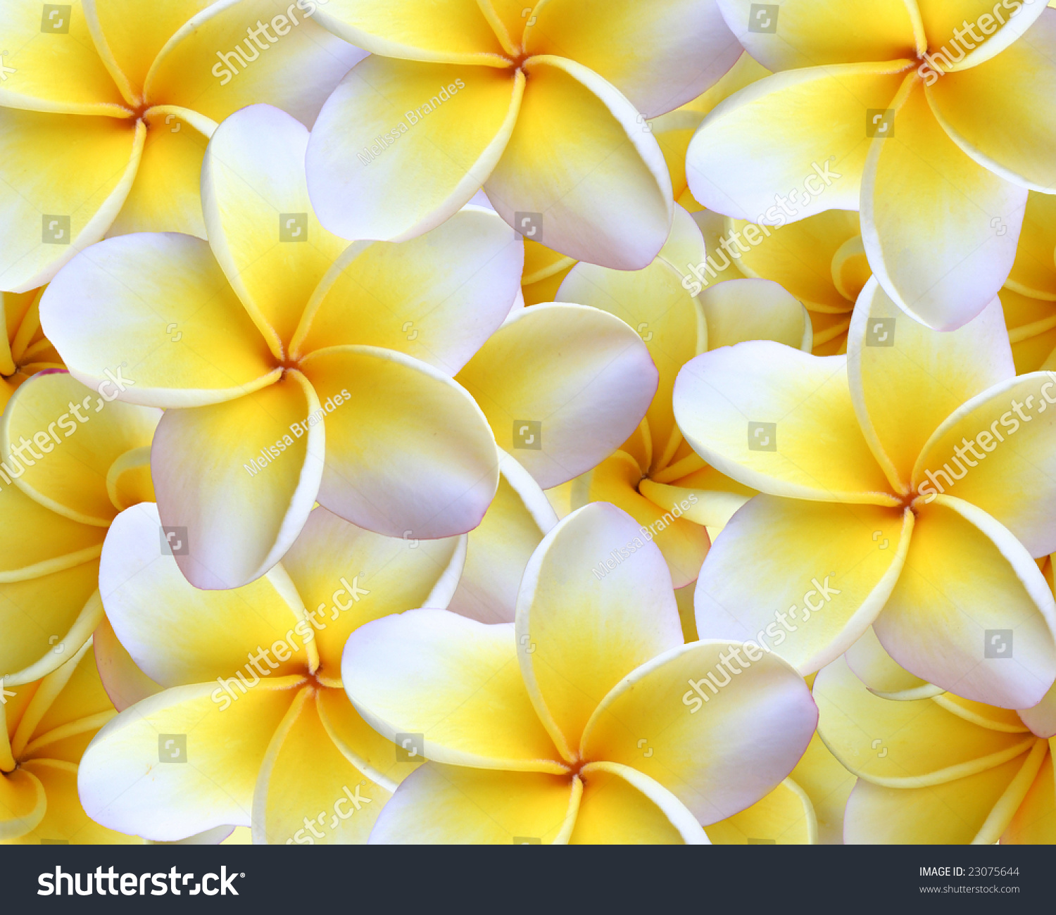 Hawaiian plumeria background plumeria used make stock photo edit hawaiian plumeria background plumeria are used to make the hawaiian leis izmirmasajfo