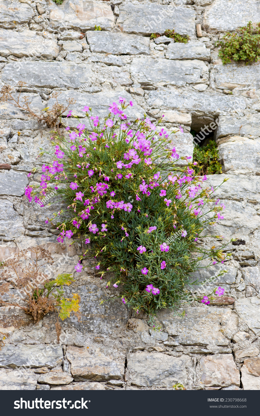 Medieval Walls Flowering Shrub Small Pink Stock Photo Edit Now