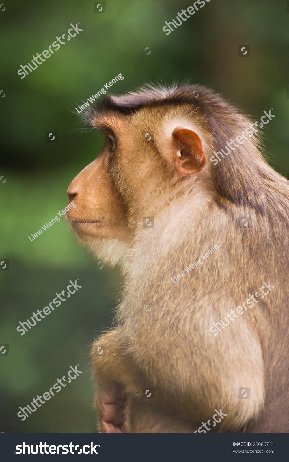 monkey side view stock photo 23086744 shutterstock