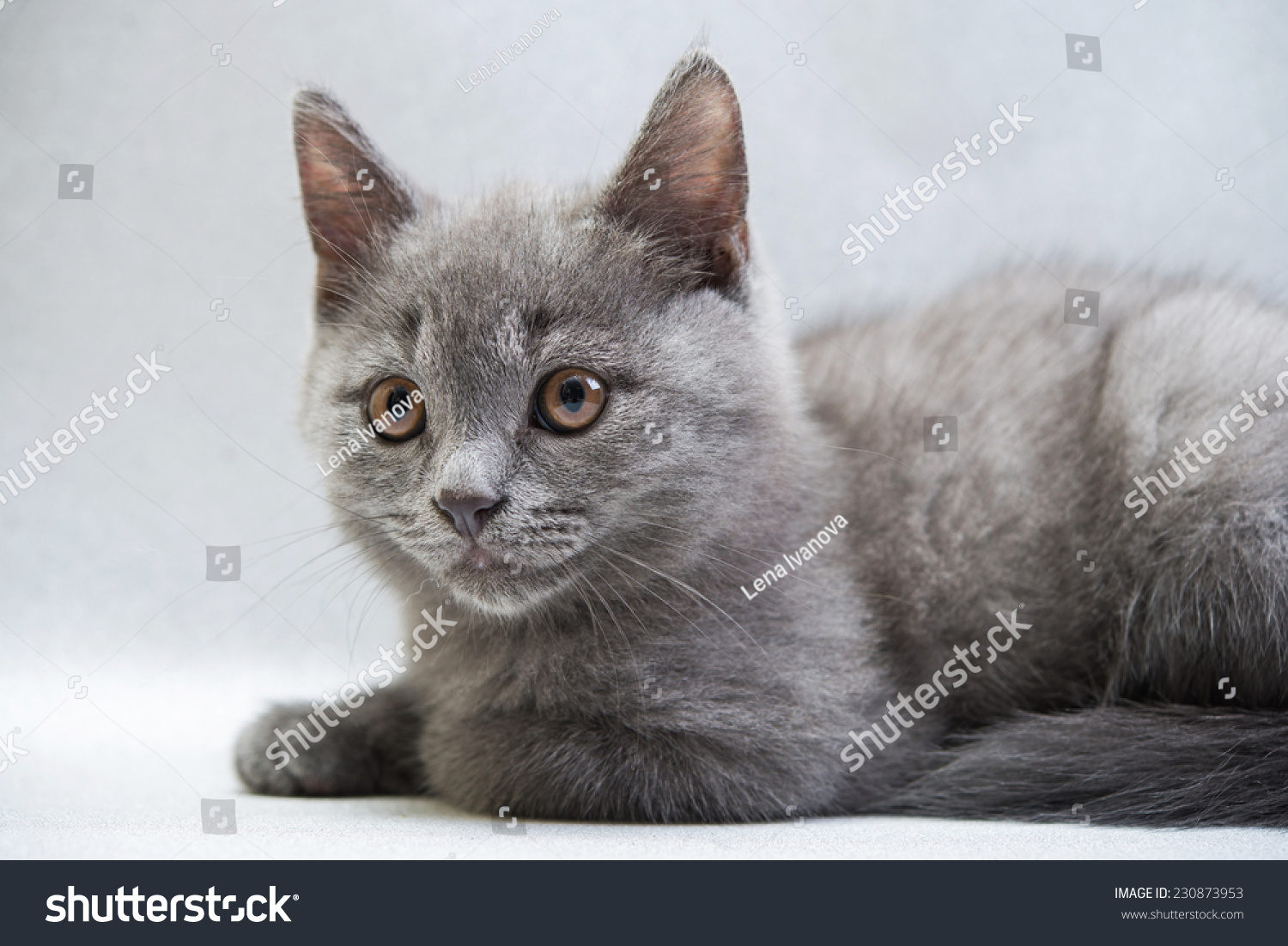 Cute Gray Kitten Stock Shutterstock