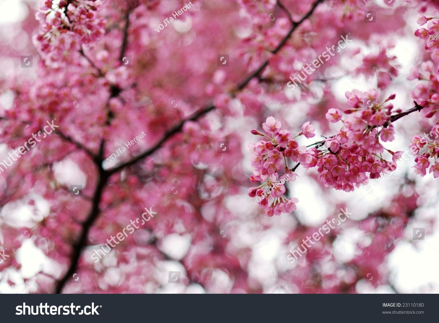 Pink Flowers Japanese Flowering Cherry Tree Stock Photo Safe To Use