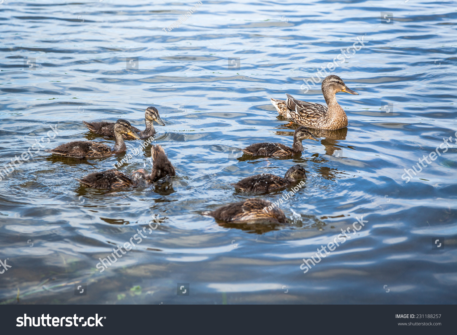 Female Duck With Offspring Swimming In The River Stock ...