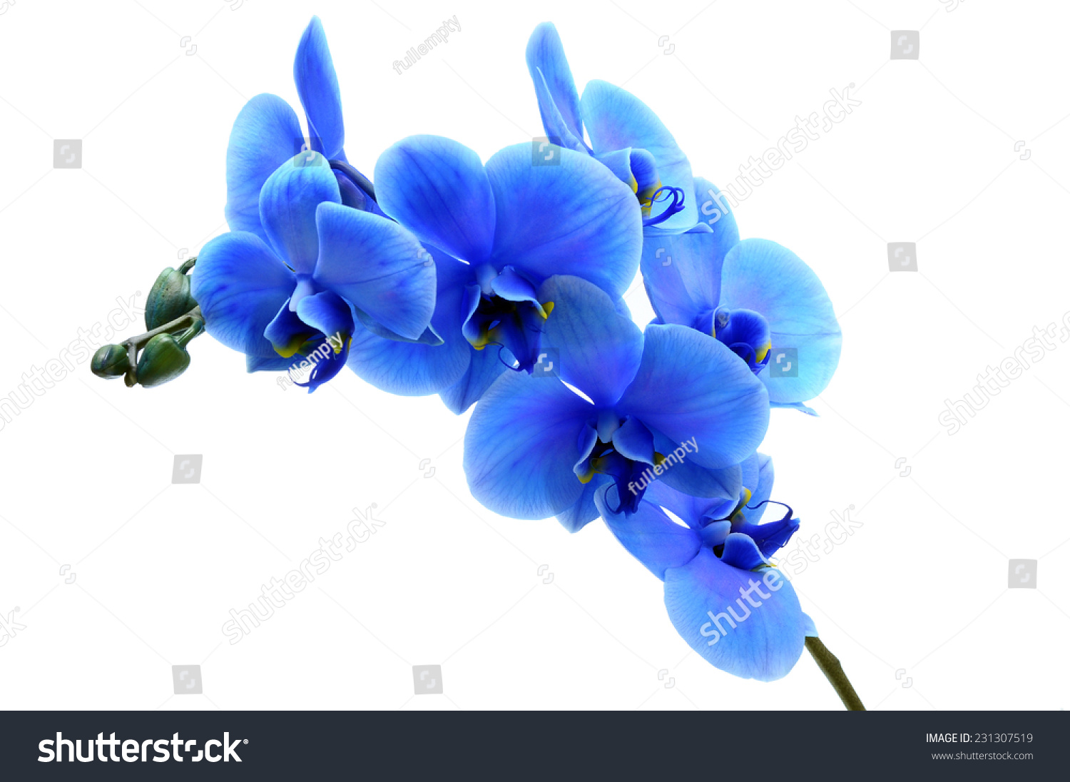 Blue Orchid Flower Isolated On White Background Ez Canvas