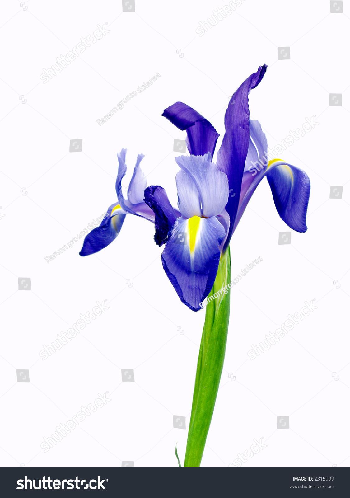 Blue Iris Flower Isolated On White Backgrounds Ez Canvas