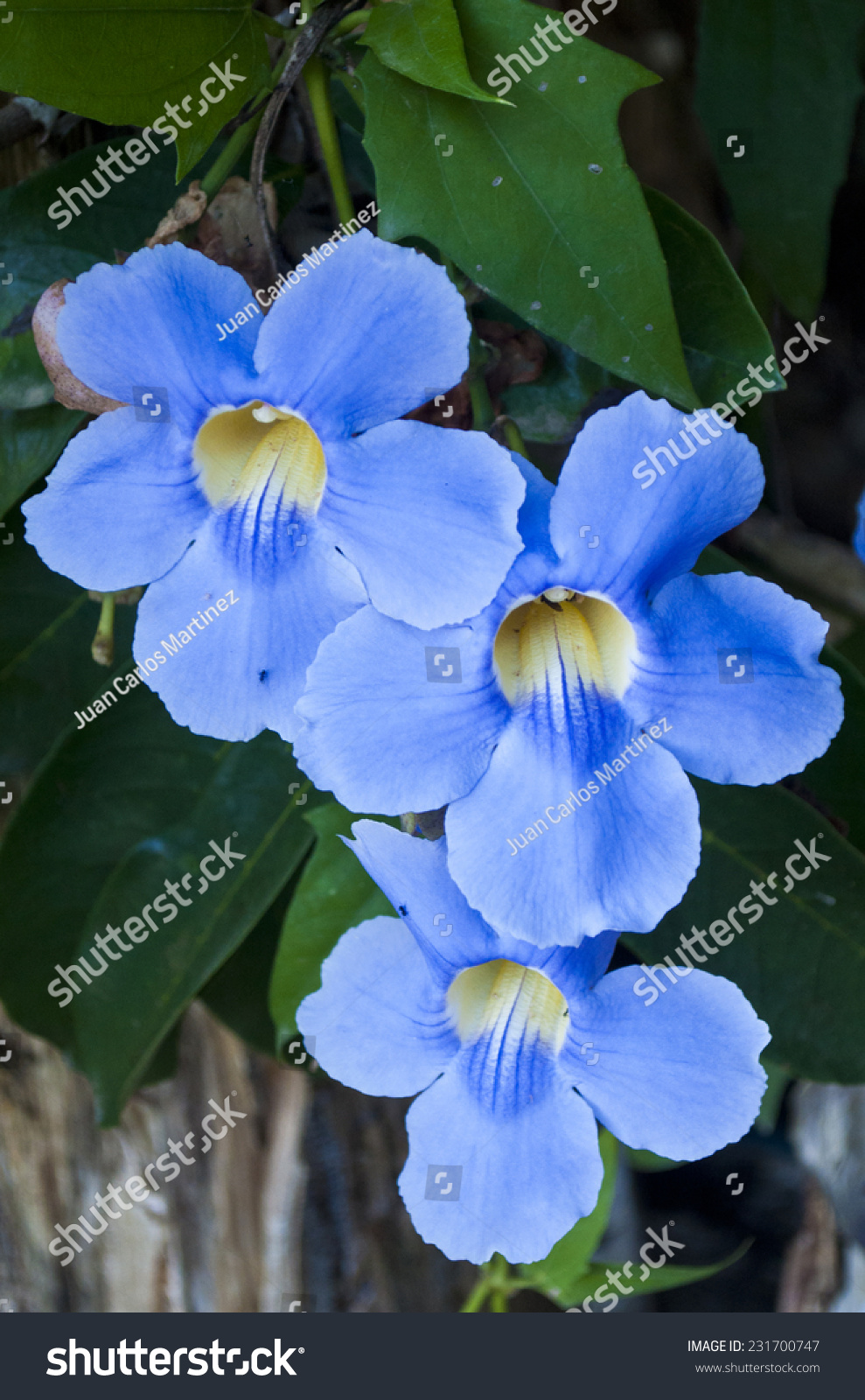 Blue vine stock photo royalty free 231700747 shutterstock blue vine izmirmasajfo