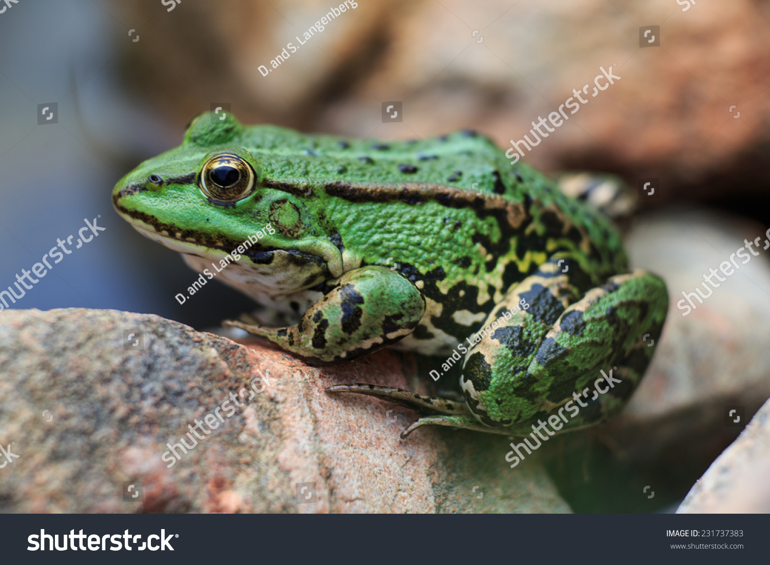 A green edible frog, also known as the Common Water Frog , sits on a stone. Edible frogs are hybrids of  pool frogs and marsh frogs. #231737383