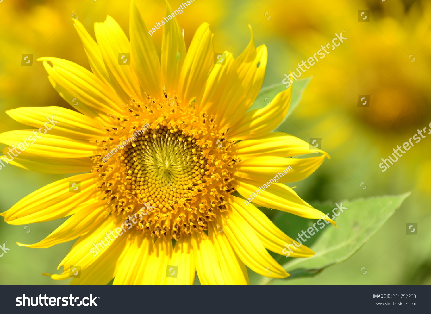 sunflowers green background yellow nature wallpaper | ez canvas