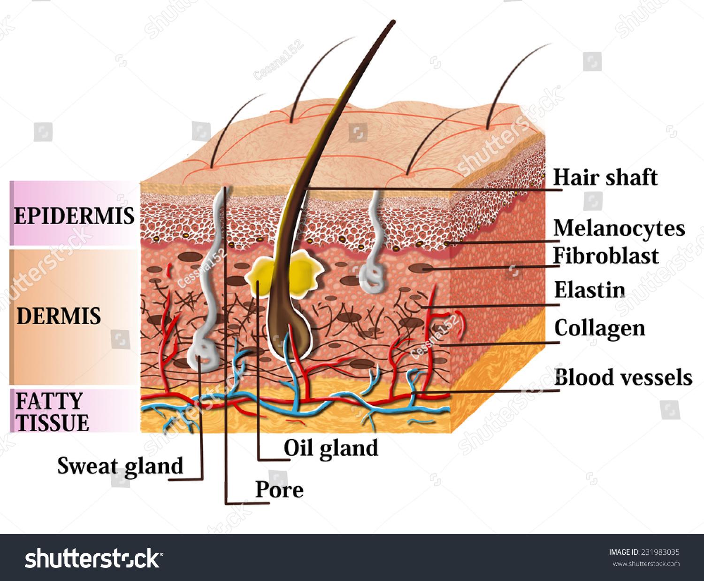 Skin Anatomy Diagram Description Illustration Skin Stockillustration