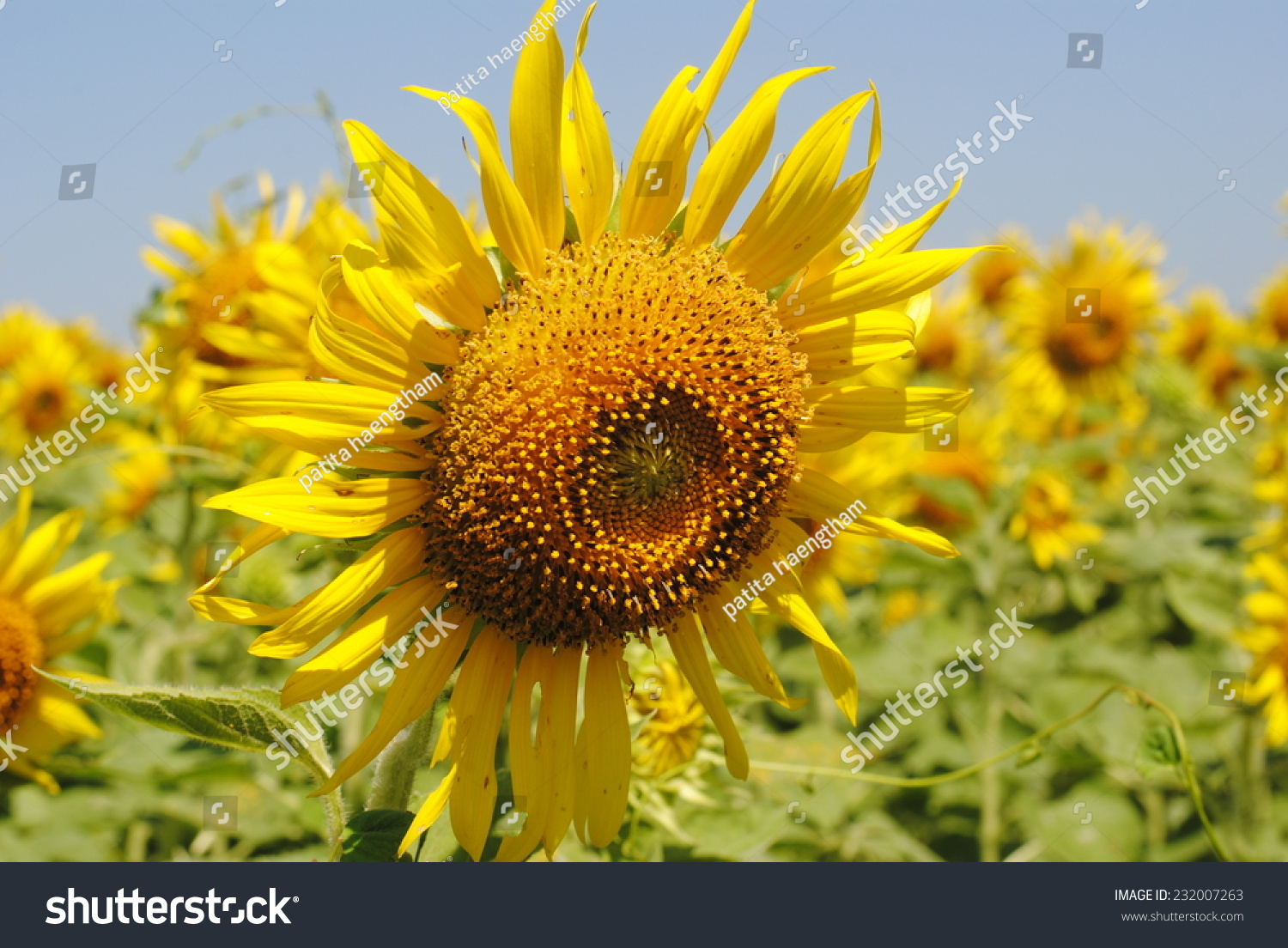 Sunflowers Flowers Yellow Green Background Nature Ez Canvas