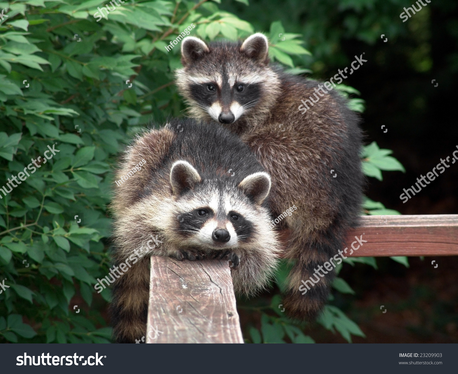 lovely pair raccoons resting starring on stock photo 23209903