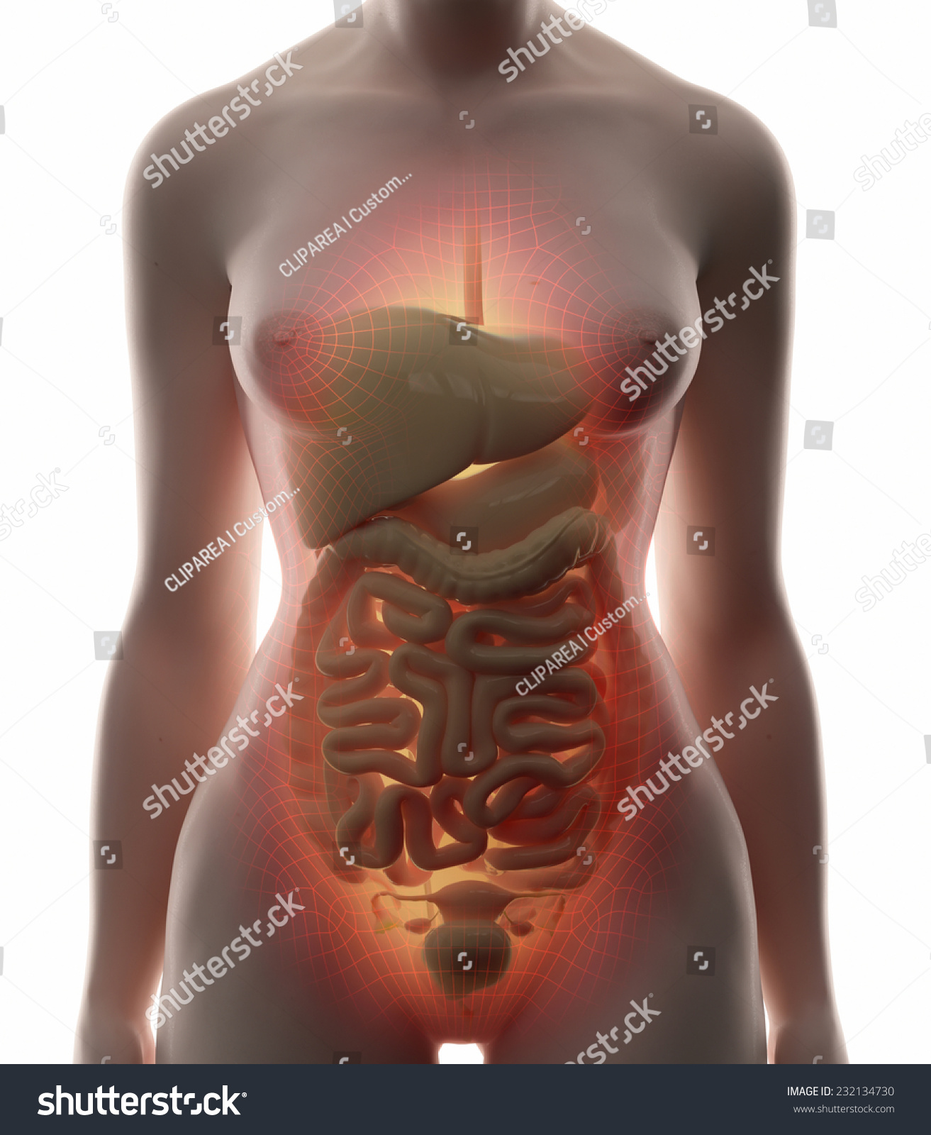 Royalty Free Stock Illustration of Abdominal Organs Real View Female ...